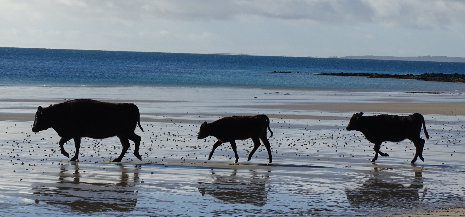 Image of a heifer and two calfs enjoying the beach