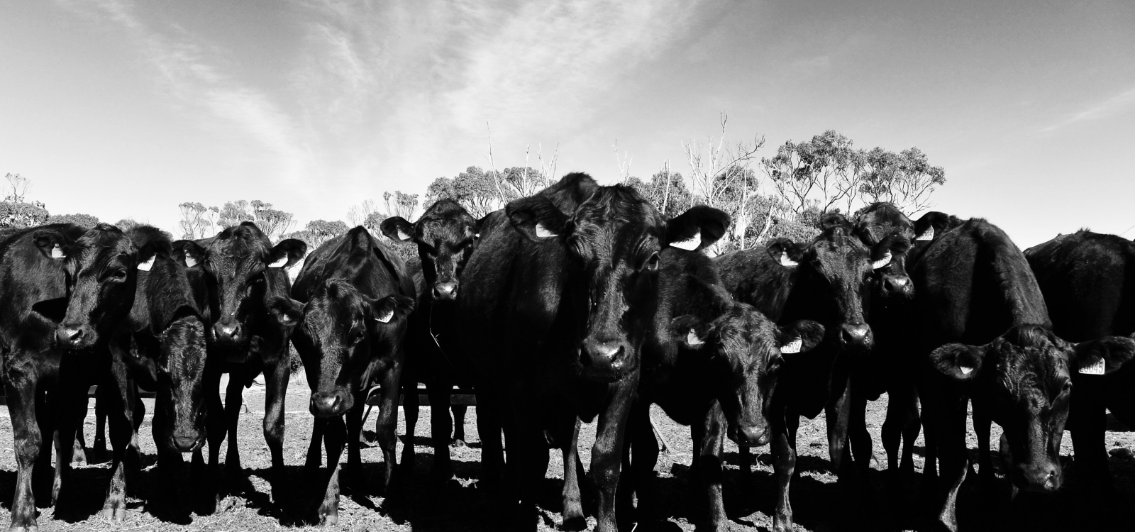 Image of polled wagyu heifers